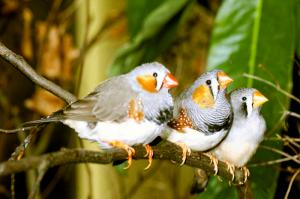 two males and one female zebra finch