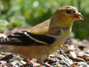 male goldfinch beginning to show winter coloration