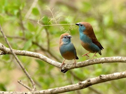 Blue Waxbills Mating Courtship