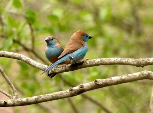 Blue Waxbills Mating Courtship 2