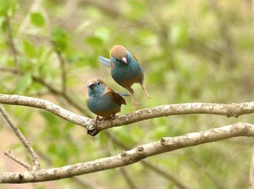 Blue Waxbills Mating Courtship 3