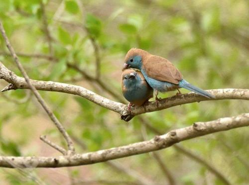 Blue Waxbills Mating Courtship 4