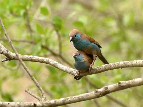 Blue Waxbills Mating Courtship 5