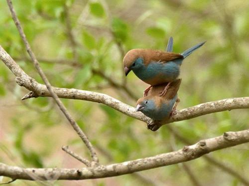 Blue Waxbills Mating Courtship 6
