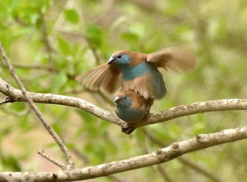 Blue Waxbills Mating Courtship 7