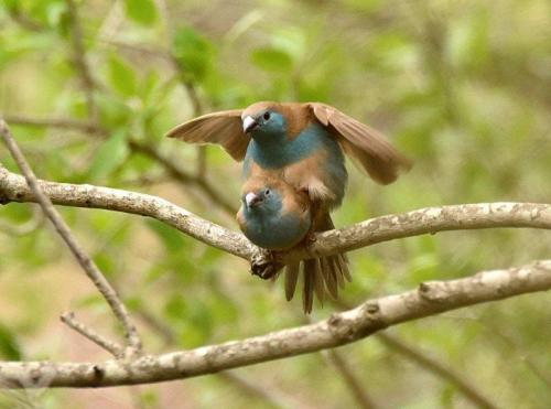 Blue Waxbills Mating Courtship 8
