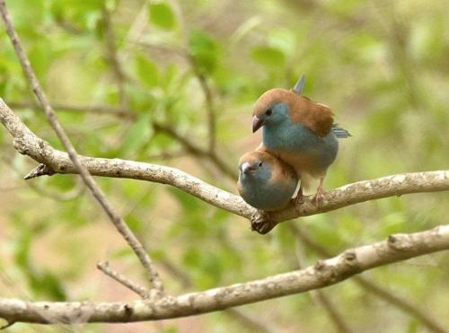 Blue Waxbills Mating Courtship 9