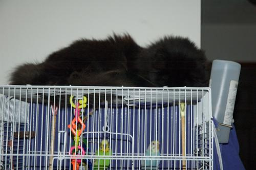 black cat sitting on top of parakeet cage