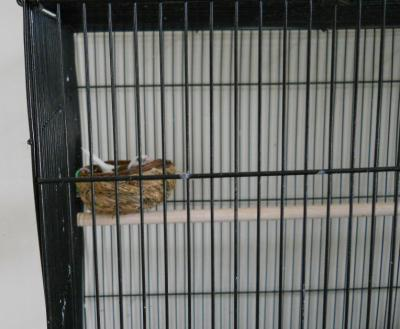 society finch resting in open-type nest