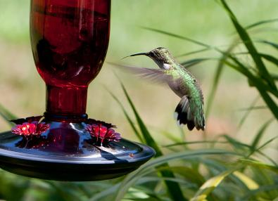 hummingbird at near nectar feeder